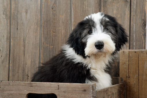 PUP 06 JD0001 01 © Kimball Stock Bearded Collie Puppy Sitting In Crate By Wooden Fence