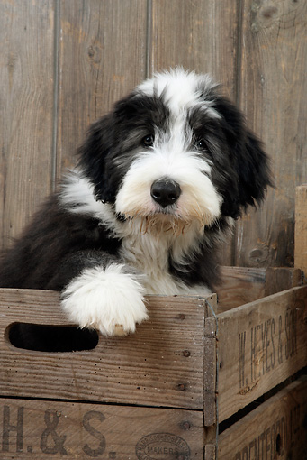 PUP 06 JD0002 01 © Kimball Stock Bearded Collie Puppy Sitting In Crate By Wooden Fence