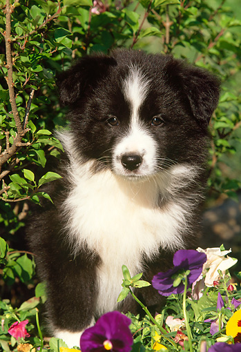 PUP 06 LS0001 01 © Kimball Stock Border Collie Puppy Sitting Among Flowers