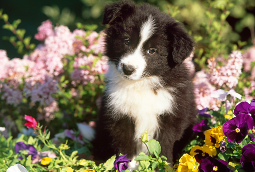 PUP 06 LS0002 02 © Kimball Stock Border Collie Puppy Sitting Among Flowers