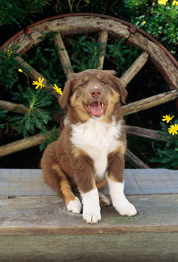 PUP 06 RC0004 01 © Kimball Stock Portrait Of Australian Shepherd Puppy Sitting On Wood Deck By Wagon Wheel