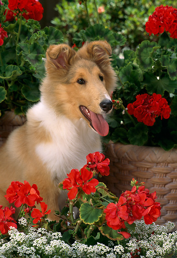 PUP 06 RC0006 01 © Kimball Stock Portrait Of Collie Puppy Sitting By Red And White Flowers
