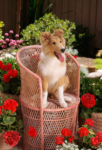 PUP 06 RC0007 01 © Kimball Stock Portrait Of Collie Puppy Sitting On Pink Rattan Chair In Garden By Flowers