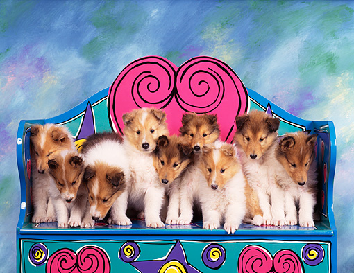 PUP 06 RK0006 11 © Kimball Stock Litter Of Rough Collies All Standing Closely Together On A Colorful Chair