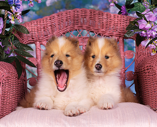PUP 06 RK0028 01 © Kimball Stock 2 Rough Collies Laying On Pink Chair With Flowers One Puppy Has Mouth Open