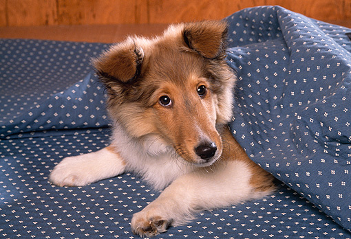PUP 06 RK0035 01 © Kimball Stock Head Shot Of Shetland Sheepdog Puppy Laying On Blue Blanket