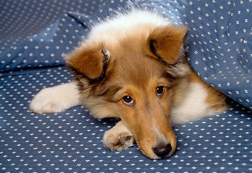PUP 06 RK0035 08 © Kimball Stock Head Shot Of Shetland Sheepdog Puppy Laying On Blue Blanket