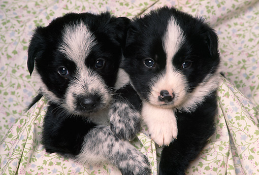 PUP 06 RK0057 03 © Kimball Stock Head Shot Of Two Border Collie Puppies