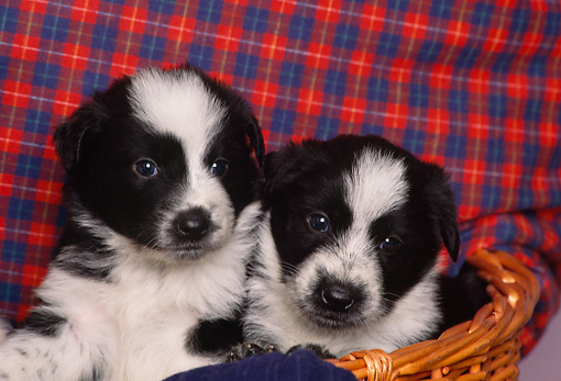 PUP 06 RK0058 02 © Kimball Stock Head Shot Of Border Collie Puppies In Basket Red And Blue Sheet Background