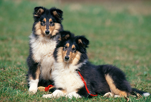 PUP 06 SS0001 01 © Kimball Stock Two Rough Collie Puppies Sitting And Laying On Grass