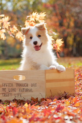 PUP 06 YT0002 01 © Kimball Stock Border Collie Puppy Sitting In Wooden Box On Grass In Leaves
