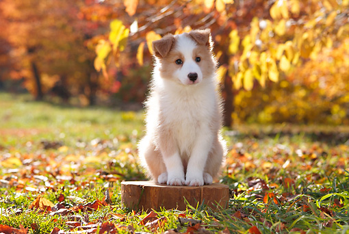 PUP 06 YT0004 01 © Kimball Stock Border Collie Puppy Sitting On Stump In Grass And Leaves