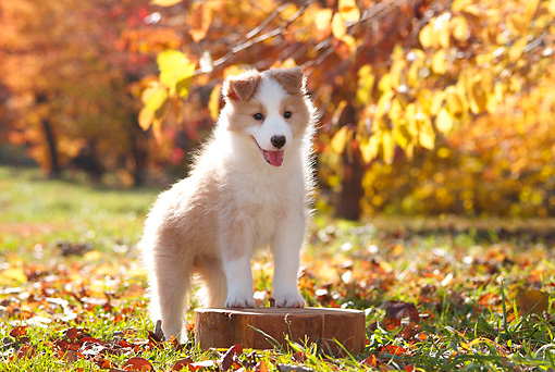 PUP 06 YT0005 01 © Kimball Stock Border Collie Puppy Standing On Stump In Grass And Leaves