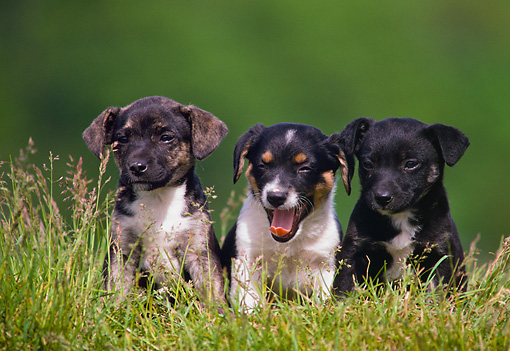 PUP 07 GR0001 01 © Kimball Stock Portrait Of Mixed Breed Puppies On Grass