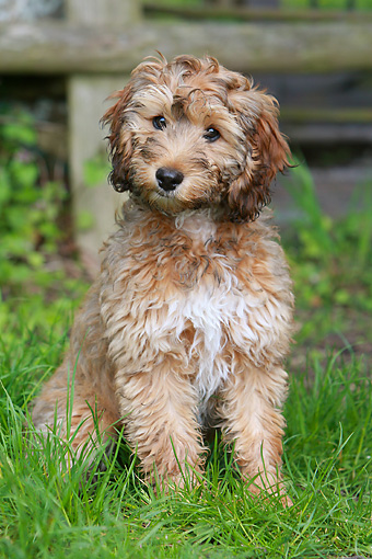 PUP 07 NR0004 01 © Kimball Stock Cockapoo Puppy Sitting On Grass By Wooden Fence