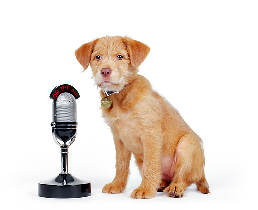 PUP 07 RK0015 03 © Kimball Stock Mutt Puppy Sitting Next To Microphone On White Seamless