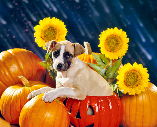 PUP 07 RK0094 02 © Kimball Stock Mixed Breed Puppy Sitting In Pumpkin By Sunflowers Dark Rain Background