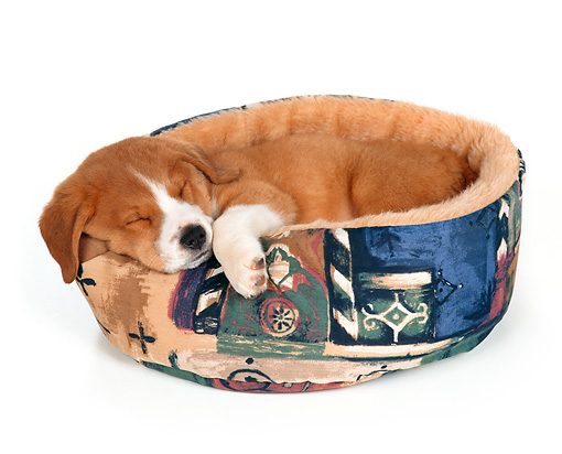 PUP 07 RS0009 02 © Kimball Stock Mixed Breed Puppy Sleeping In Dog Bed