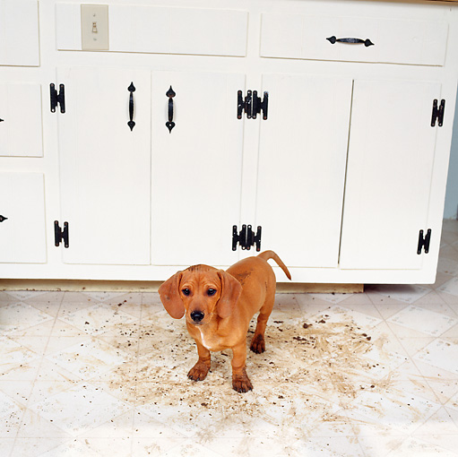 PUP 07 RS0010 03 © Kimball Stock Mixed Breed Puppy Tracking Mud On Floor