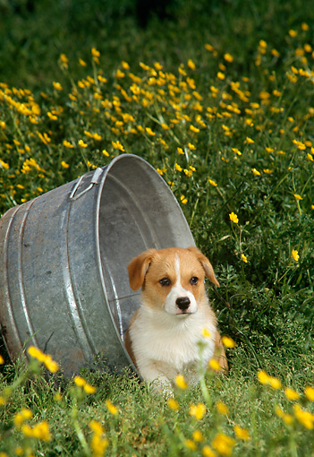 PUP 07 DC0001 01 © Kimball Stock Mixed Breed Puppy In Flower Field By Pail
