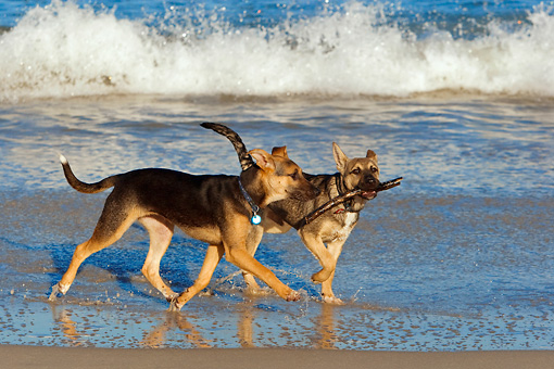 PUP 07 KH0003 01 © Kimball Stock Two German Shepherd Mix Puppies Running On Beach Carrying Stick