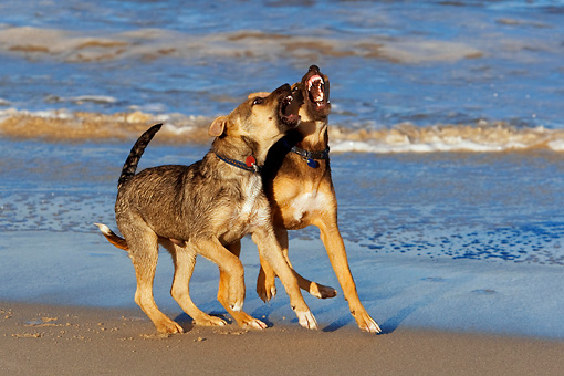 PUP 07 KH0004 01 © Kimball Stock Two German Shepherd Mix Puppies Playing On Beach