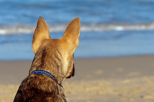 PUP 07 KH0005 01 © Kimball Stock Rear Head Shot Of German Shepherd Mix Puppy Sitting On Beach