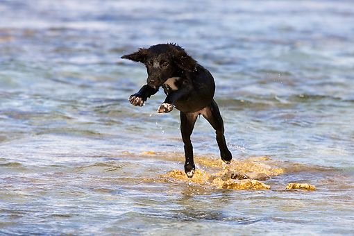 PUP 07 KH0007 01 © Kimball Stock French Polynesian Fishing Puppy Jumping In Water On Beach