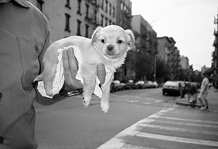 PUP 07 MQ0005 01 © Kimball Stock Mixed Breed Puppy Laying In Hand Manhattan New York