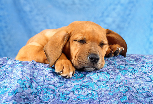PUP 07 RC0001 01 © Kimball Stock Portrait Of Rhodesian Ridgeback Puppy Sleeping Blue Background Studio
