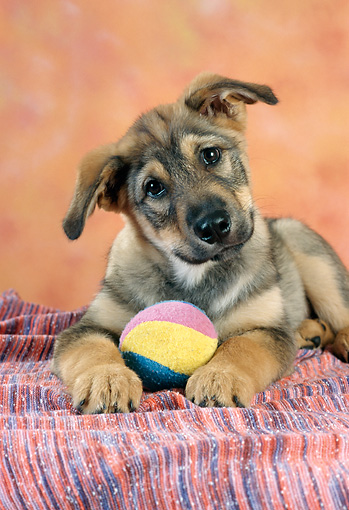 PUP 07 RC0003 01 © Kimball Stock Brown Mixed-Breed Puppy Laying On Striped Blanket With Ball