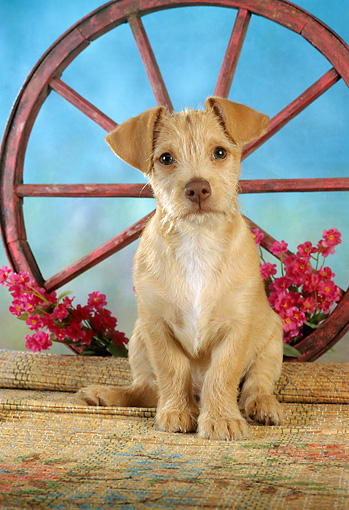 PUP 07 RC0006 01 © Kimball Stock Portrait Of Tan Mixed-Breed Puppy Facing Camera By Wagon Wheel & Flowers
