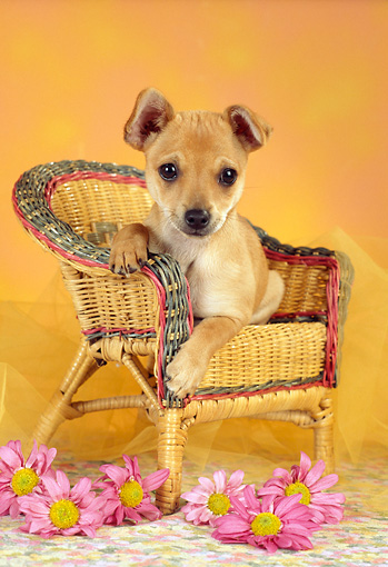 PUP 07 RC0009 01 © Kimball Stock Mixed Breed Puppy Laying On Wicker Chair By Pink Flowers Studio