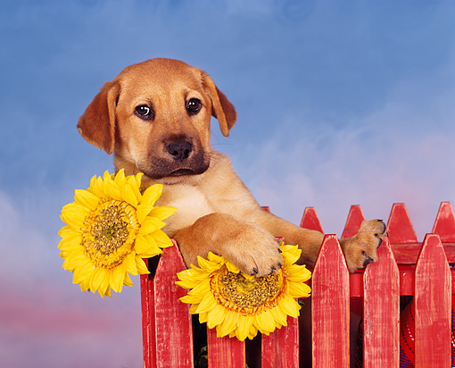 PUP 07 RK0007 02 © Kimball Stock Mixed Breed Puppy Leaning On Red Fence By Sunflowers Facing Camera Blue Clouds Background