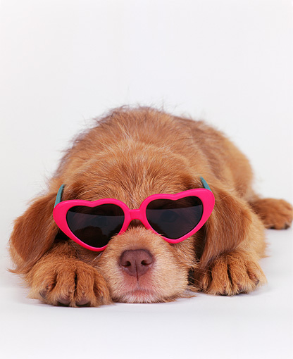 PUP 07 RK0012 02 © Kimball Stock Close Up Of Mixed Breed Puppy Laying With Head Down Wearing Red Heart Sunglasses White Seamless