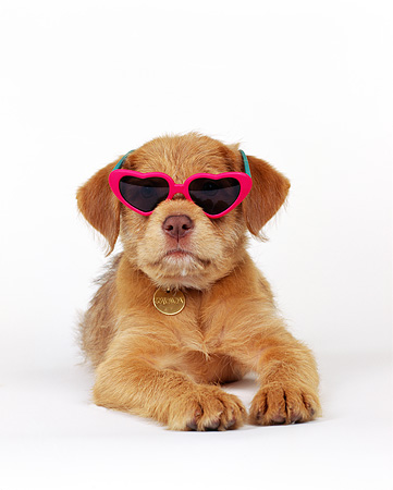 PUP 07 RK0013 03 © Kimball Stock Mixed Breed Puppy Laying Down Wearing Sunglasses On White Seamless Background