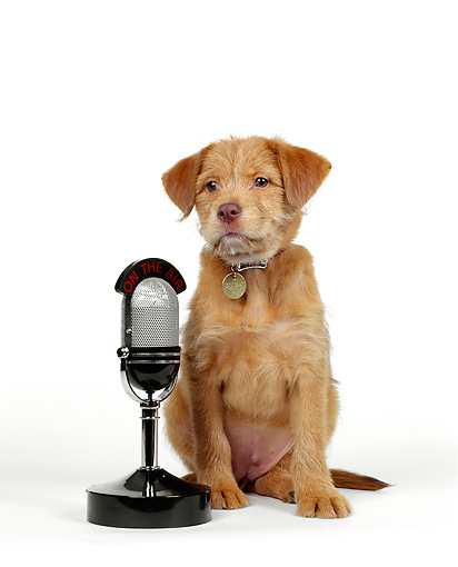 PUP 07 RK0015 05 © Kimball Stock Mutt Puppy Sitting Next To Microphone On White Seamless