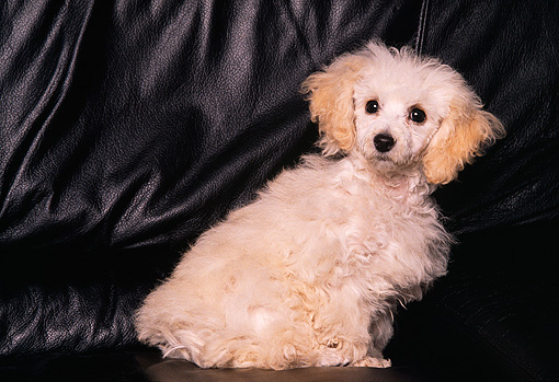 PUP 07 RK0035 05 © Kimball Stock Profile Shot Of Mixed Breed Puppy Sitting On Black Leather Couch Facing Camera