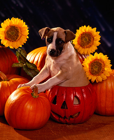 PUP 07 RK0094 04 © Kimball Stock Mixed Breed Puppy Sitting In Pumpkin By Sunflowers Dark Rain Background