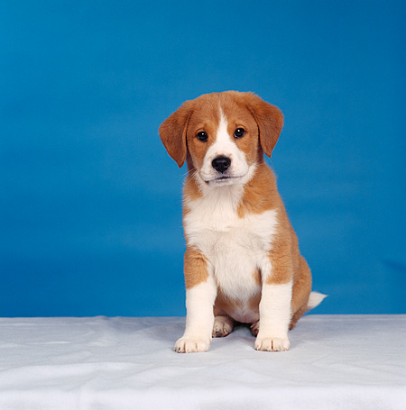 PUP 07 RS0020 02 © Kimball Stock Mixed Breed Puppy Sitting Blue Background