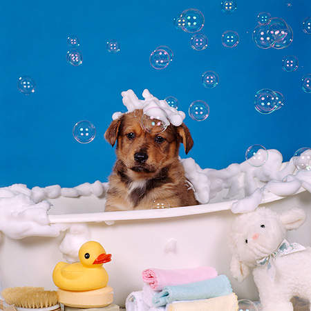 PUP 07 RS0088 02 © Kimball Stock Head Shot Of Mixed Breed Puppy In Bathtub With Bubbles