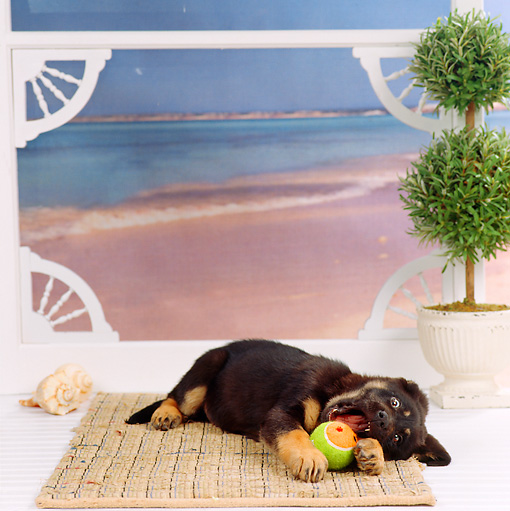 PUP 07 RS0098 02 © Kimball Stock Mixed Breed Puppy Playing With Ball By Screen Door By Ocean