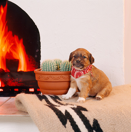 PUP 07 RS0105 02 © Kimball Stock Mixed Breed Puppy With Bandana Sitting By Fireplace