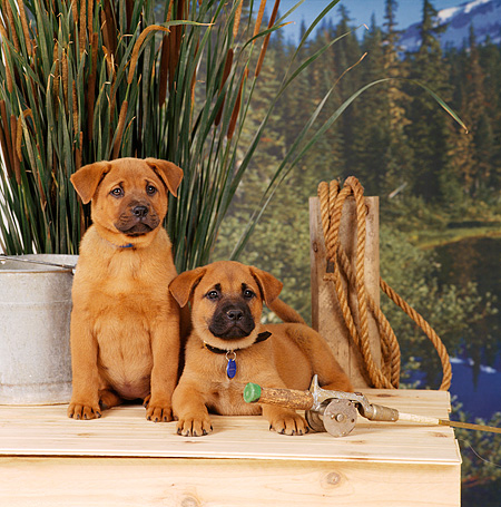 PUP 07 RS0118 04 © Kimball Stock Two Mixed Breed Puppies Sitting On Deck By Lake