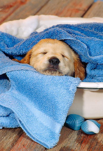 PUP 07 RS0152 01 © Kimball Stock Head Shot Of Mixed Breed In Towel Sleeping