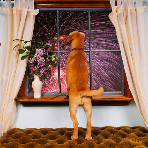 PUP 07 RS0161 02 © Kimball Stock Mixed Breed Puppy Looking Out Window At Fireworks