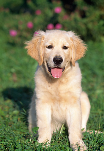PUP 08 AB0001 01 © Kimball Stock Portrait Of Golden Retriever Puppy Sitting On Lawn