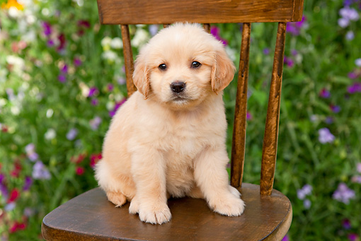 PUP 08 BK0001 01 © Kimball Stock Golden Retriever Puppy Sitting On Chair In Garden