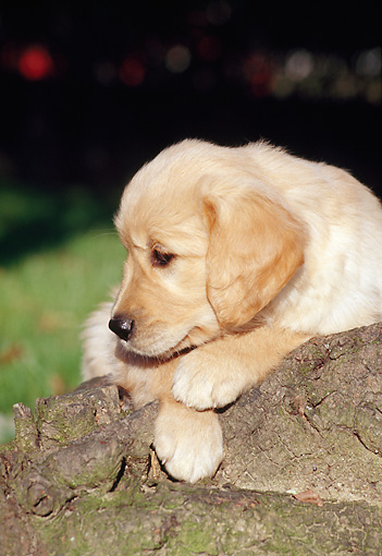 PUP 08 CB0004 01 © Kimball Stock Portrait Of Golden Retriever Puppy Laying On Rock