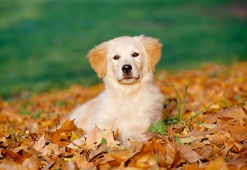 PUP 08 CB0007 01 © Kimball Stock Golden Retriever Puppy Laying In Autumn Leaves